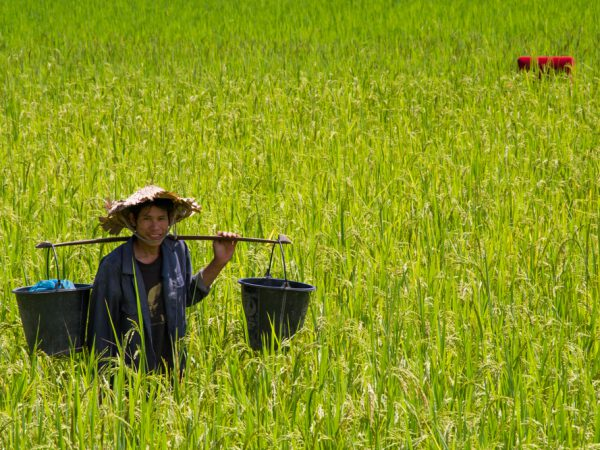 Laos Sense for Rice